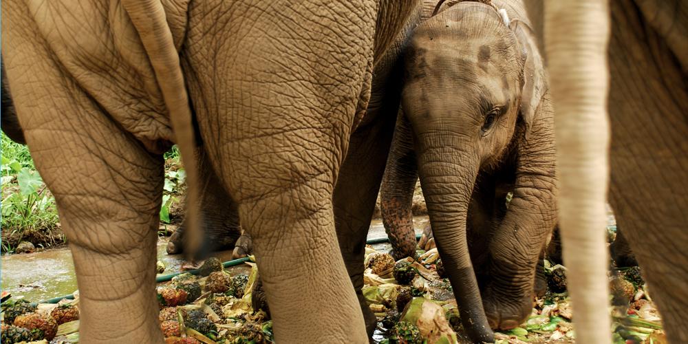 Thai Baby Elephant