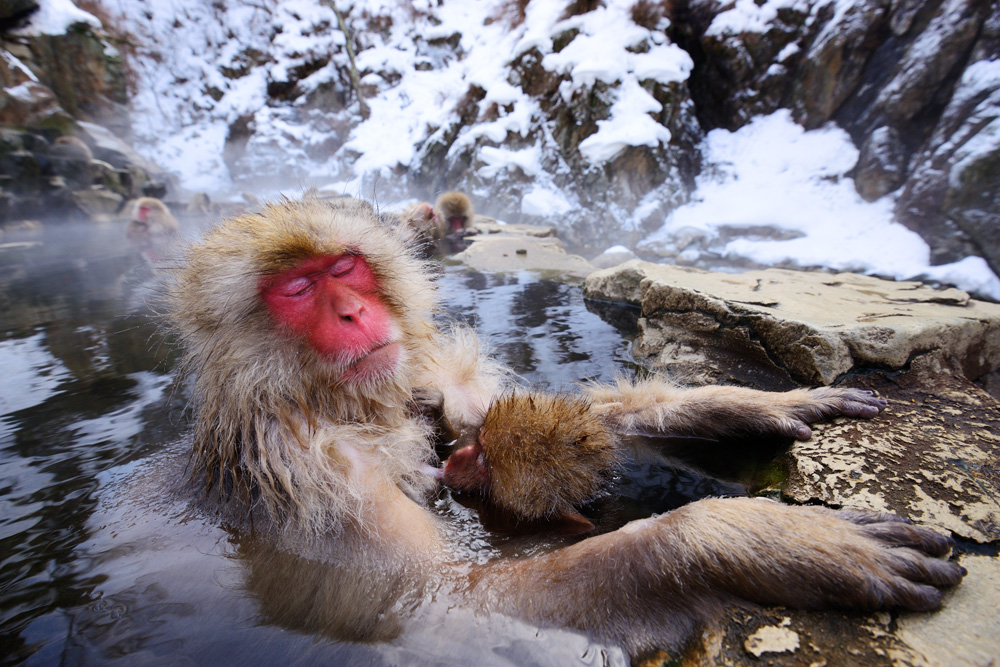 A Japanese Macaque relaxes