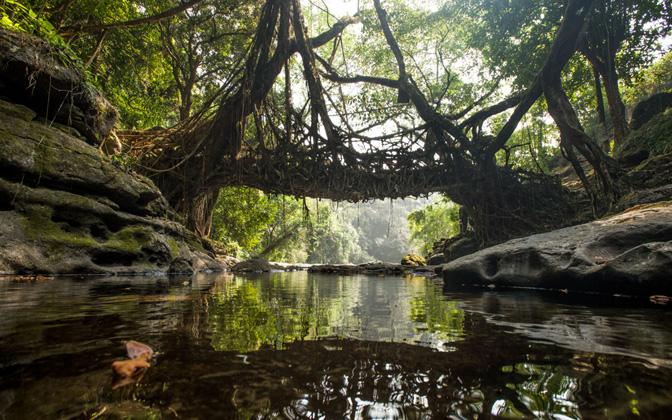 living-root-bridge