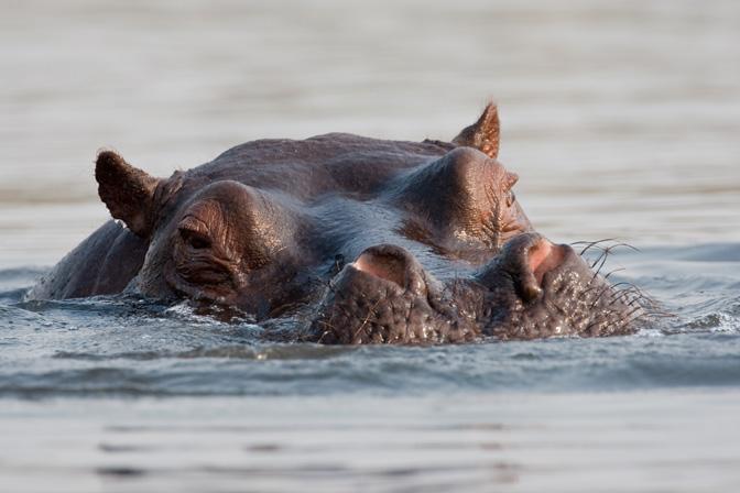 Hippo Rising