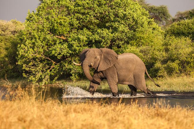 Elephant Taking Morning Stroll