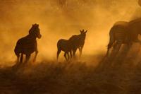 zebras-sunset