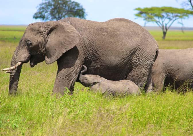elephants_tanzania2
