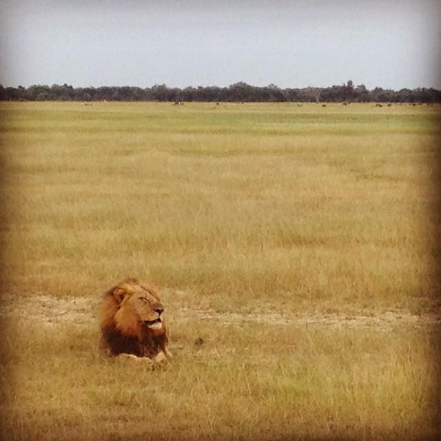 lion-resting-in-zimbabwe