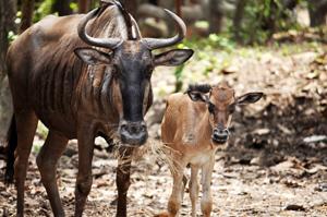 Wildebeest & Calf