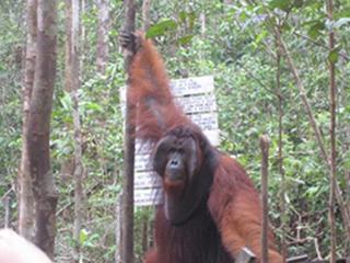 Orangutan King Tom