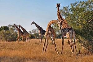 Idube Giraffe