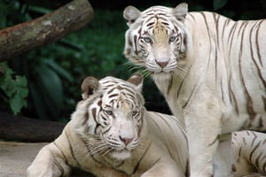 White Tigers at the Singapore Zoo