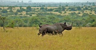 Ol Pejeta Rhino