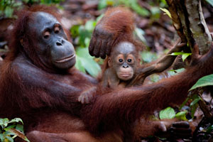 Orangutan and mother