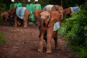 Elephant Orphans at Play