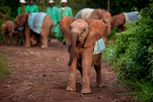 Elephant Orphans at Play