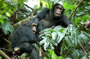 Mahale Chimp