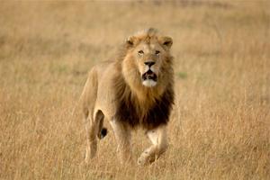 Selous Lion