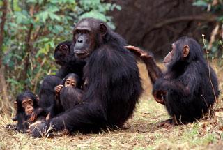 Ol Pejeta Chimps
