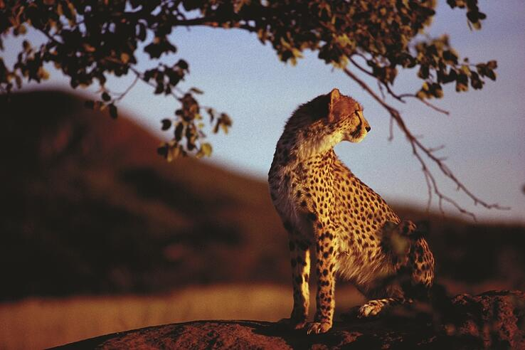Cheetah at Africat Foundation.jpg