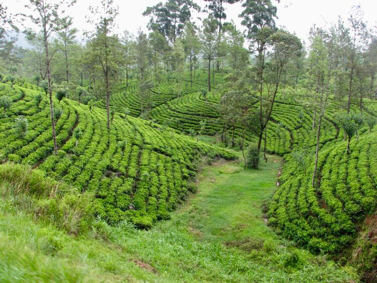 Nuwara Eliya Rice FieThings to Do In Sri Lanka_Image#7lds