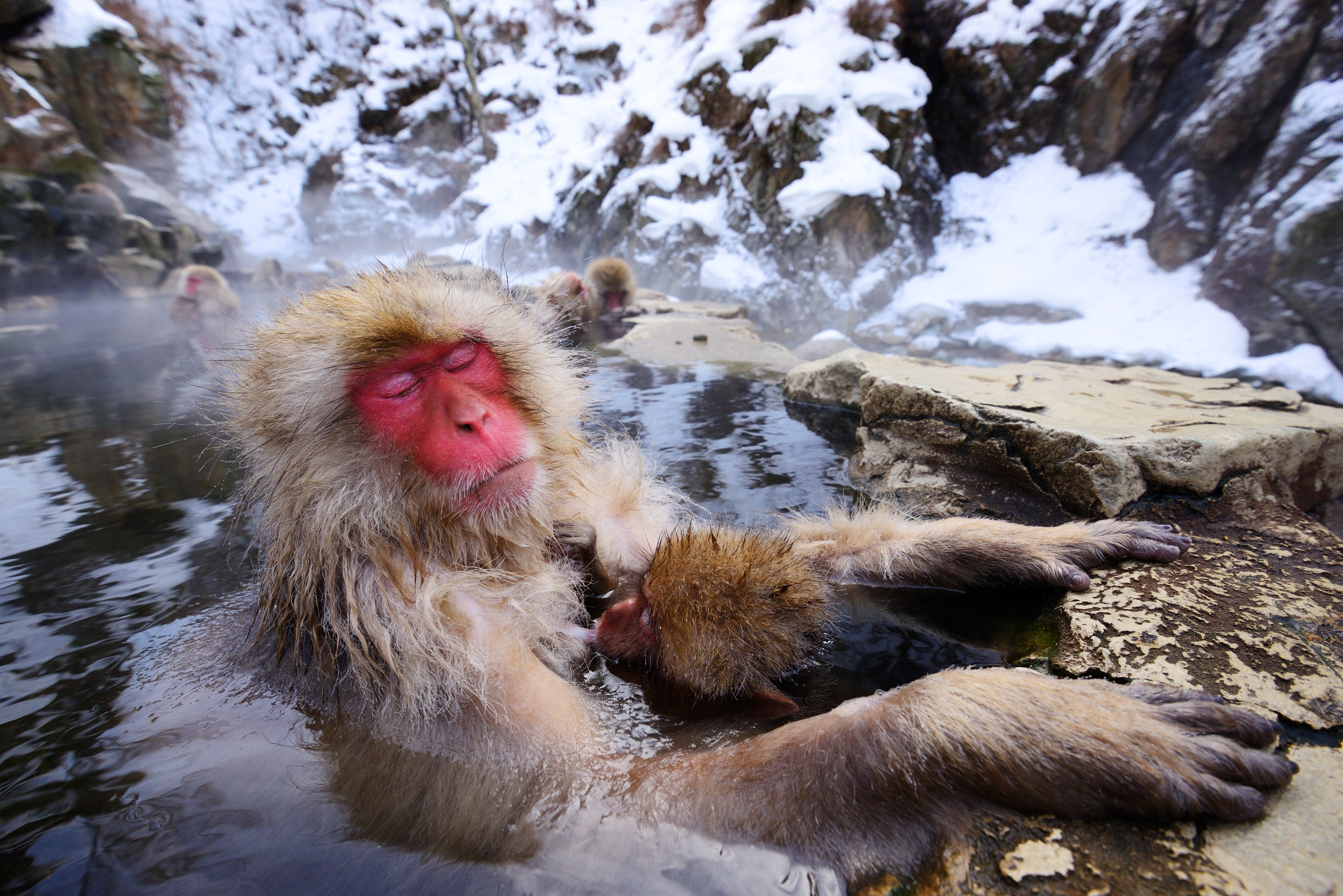 bigstock-A-Japanese-Macaque-relaxes-in--42056761-2.jpg