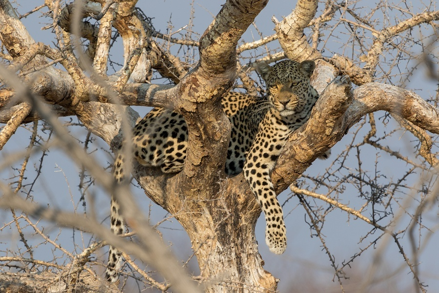 bigstock-A-Leopard-In-The-Kruger-Nation-230920474.jpg