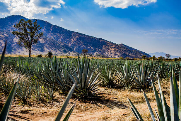 bigstock-Amazing-View-Of-An-Blue-Agave--282501760