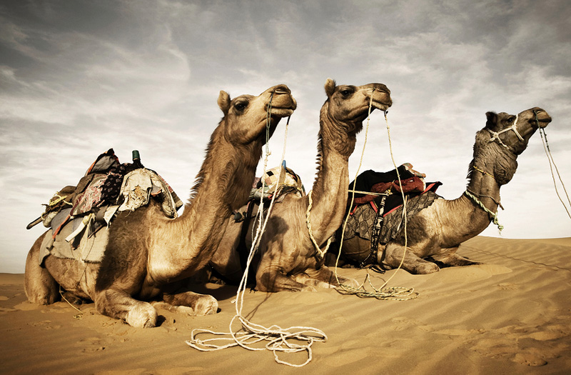 bigstock-Camels-resting-in-the-desert--212842915