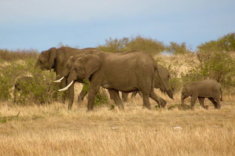 gbc-kcs-elephants-mep-maasaimara