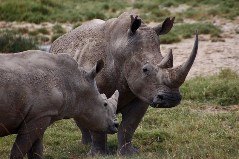 gbc-kcs-rhinos