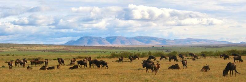 gbc-kcs-wildebeest-maasaimara