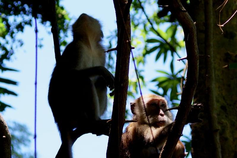 gbc-wildlife-macaques