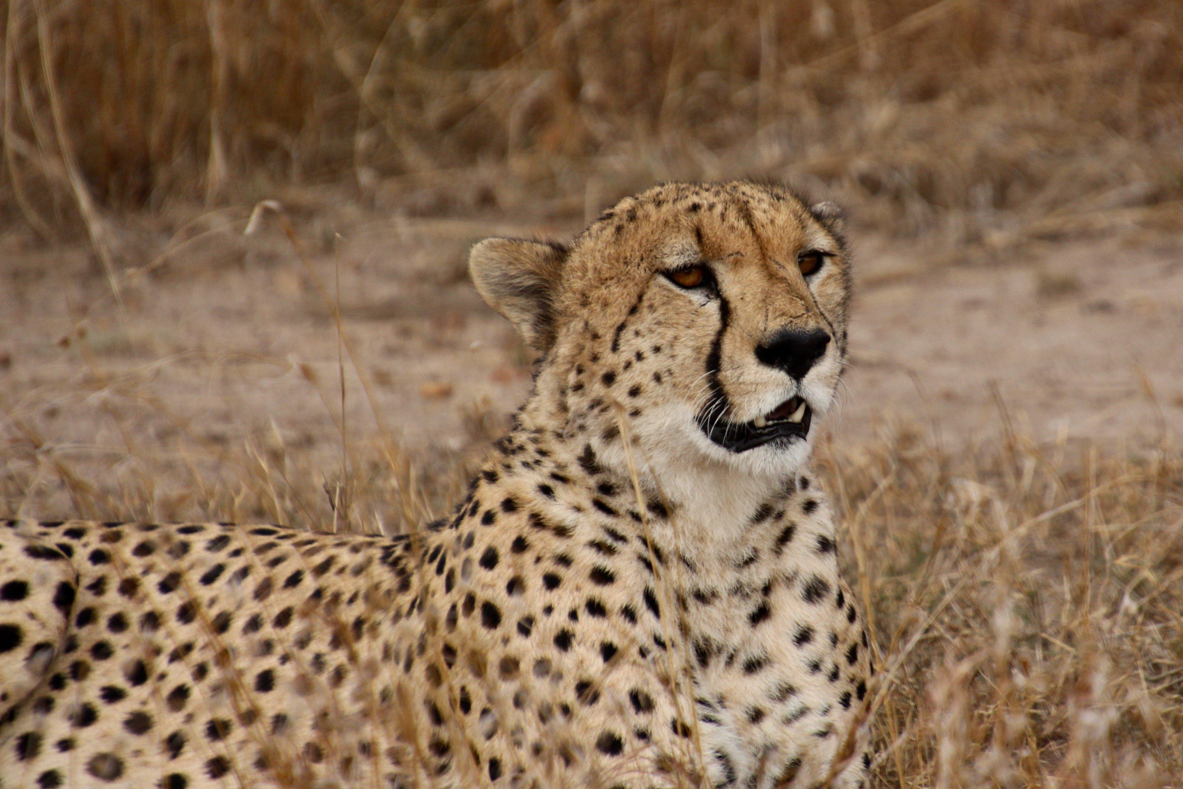 gcb-top five tz-cheetah