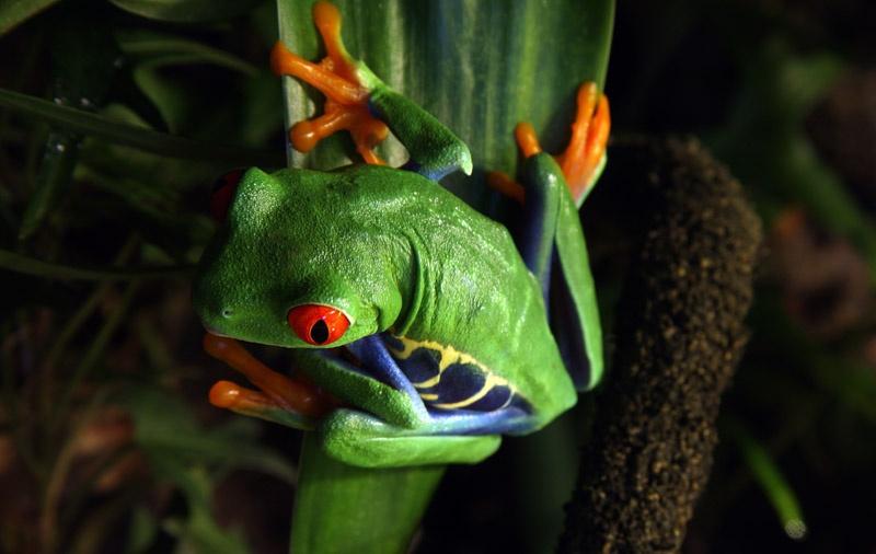 bigstock-Red-eyed-Tree-Frog-22268546