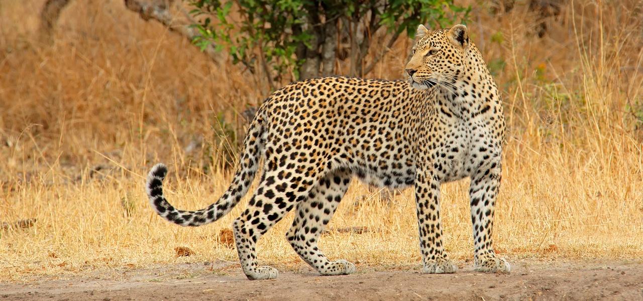 Alert Leopard in South Africa