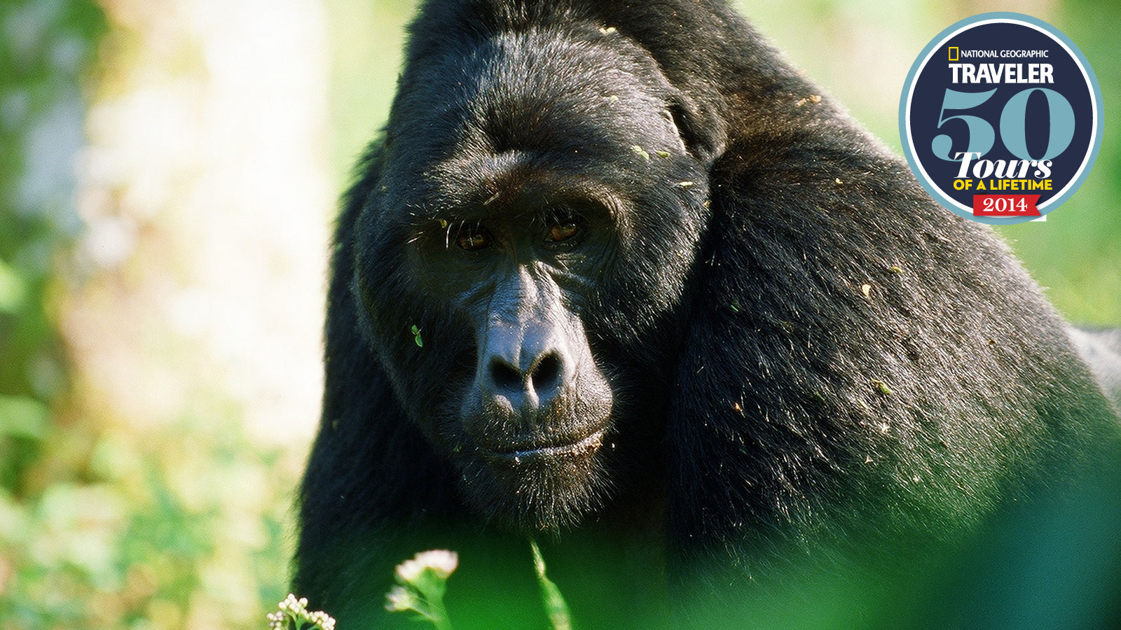 gorilla-large-national-geographic.jpeg