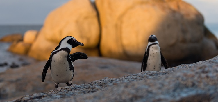 Penguins On The Beach in South Africa