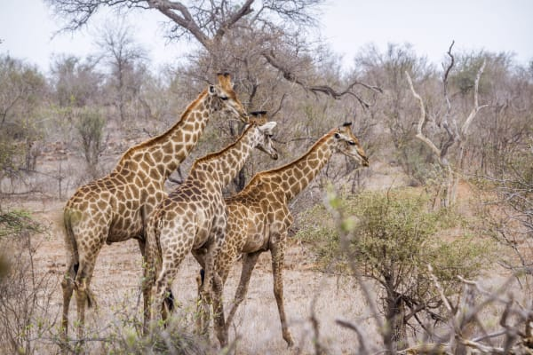 kruger-national-park-wildlife-giraffe-20137