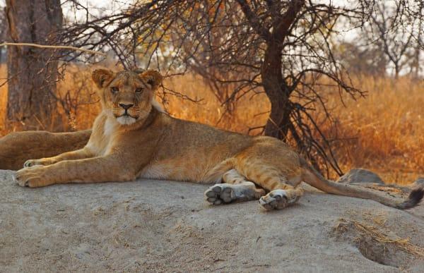 lion-wildlife-17063.jpg