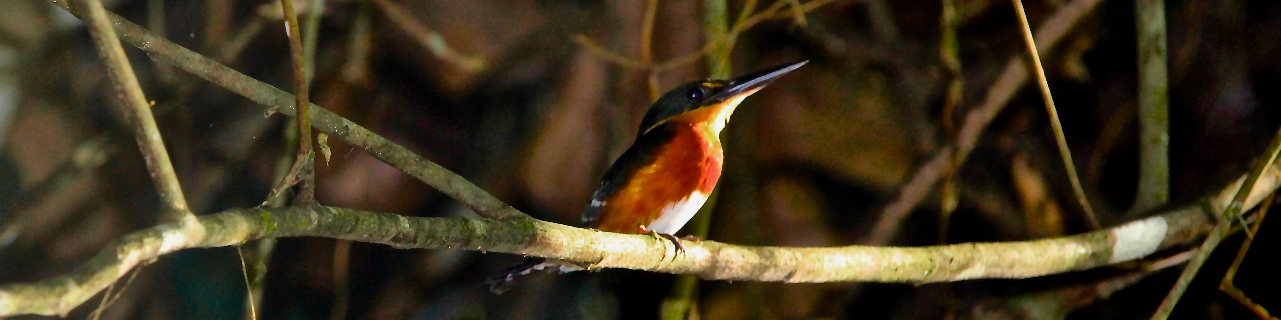 pygmy-kingfisher