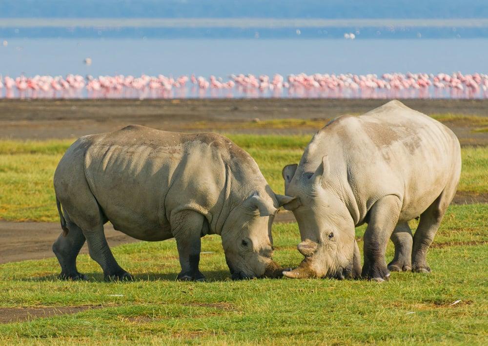 rhino-wildlife-lake-nakuru-flamingo-17576.jpg