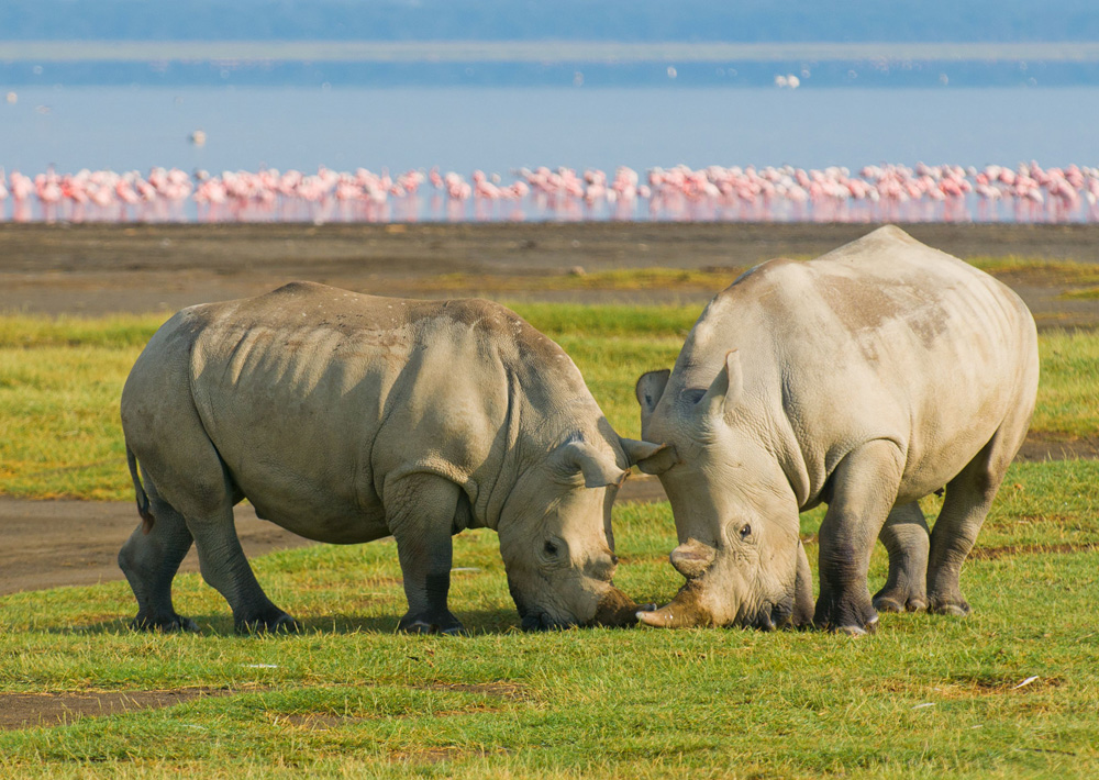 rhino-wildlife-lake-nakuru-flamingo-17576.jpg