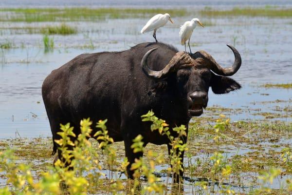 water-buffalo-chobe-national-park-wildlife-15398