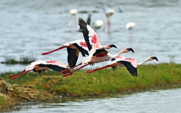 wildlife-flamingo-lake-nakuru-15217