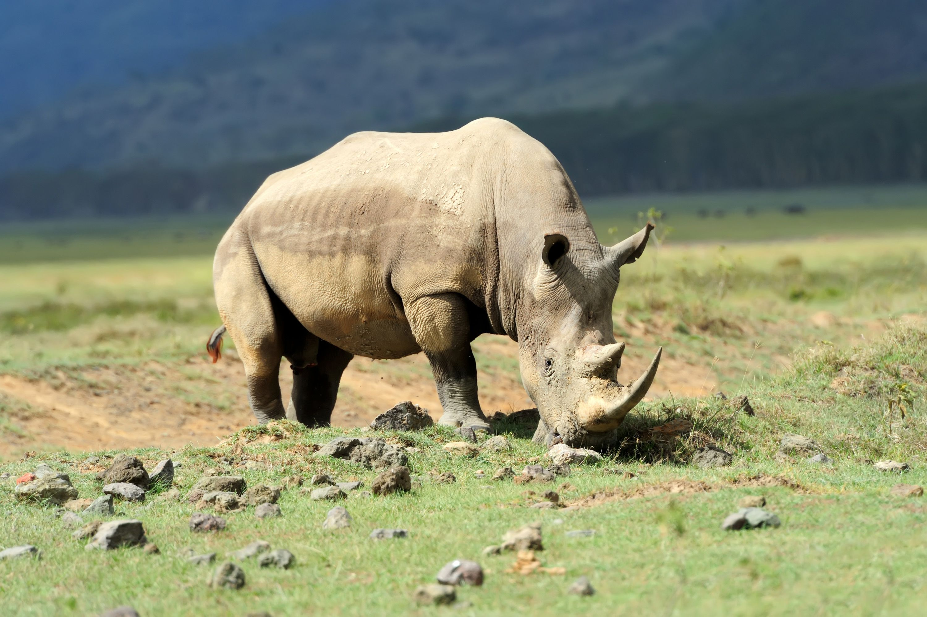 wildlife-rhino-lake-nakuru-15237.jpg