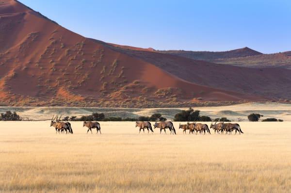 Namibia Antelope Herd
