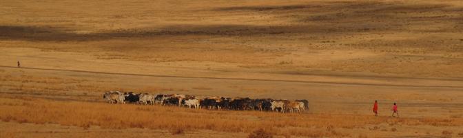 Maasai Herding Cattle