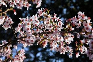 bigstock-Cherry-Blossom-45113710-1